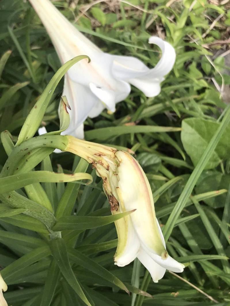 今年花苞在上個月下旬逐漸飽滿之際,卻因不知名原因,零星出現殘破痕跡,導致花朵枯萎凋零、葉片蜷曲,經查應是小型鳥類啃食花苞,目的是取用花粉及柱頭,因為花苞味苦,才咬一口取用到花粉後即停止。圖/東北角暨宜蘭海岸國家風景區管理處提供