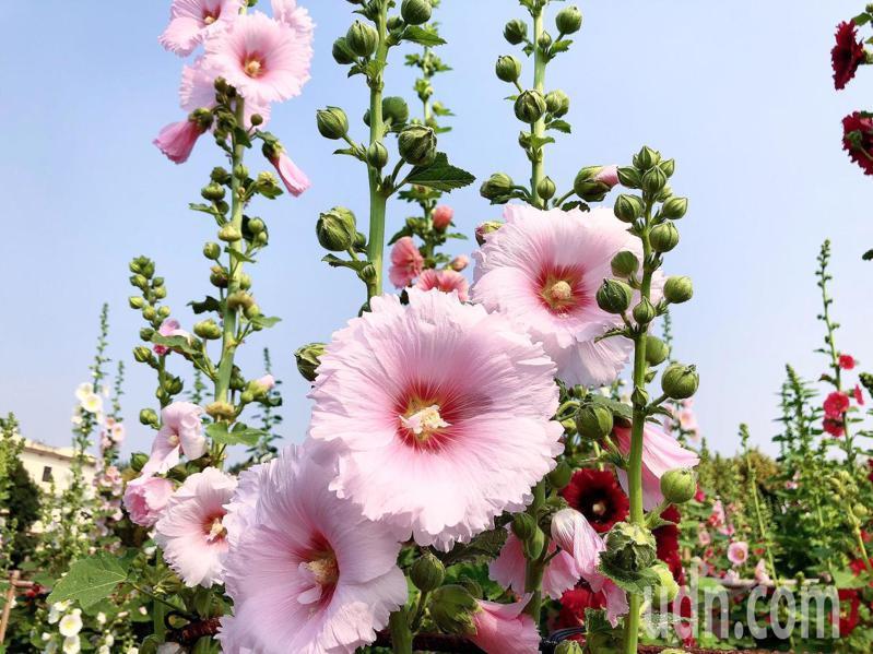 員林蜀葵花向陽盛開,美顏美麗。記者簡慧珍/攝影