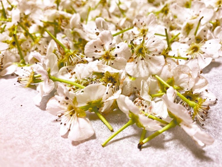 梨花本身沒有香氣,但花瓣帶有天然的益生菌,可以製作發酵飲料。 圖/朱慧芳
