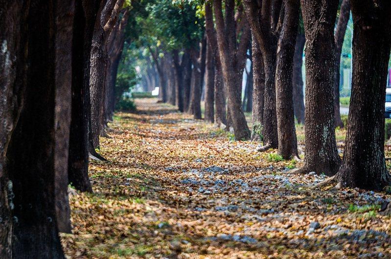 嘉義市世賢路三段的分隔島綠地長廊,種植整排近千棵桃花心木,最近落葉飄落成美景。圖/嘉義市府提供