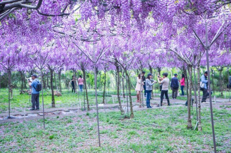 新冠肺炎疫情關係,讓戶外活動成為民眾假日所選,新北淡水的紫藤咖啡園每年都吸引大批...