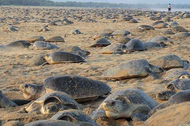 印度魯西庫利亞海灘出現海龜大規模群聚景象。 圖擷自IG/bipro_seas