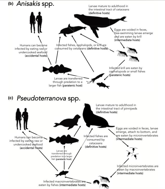 Anisakis屬與Pseudoterranova屬的海獸胃線蟲感染途徑。可見A...