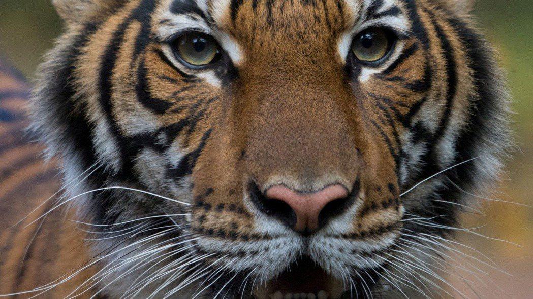 紐約布朗克斯動物園一隻老虎感染新冠病毒。 (路透)