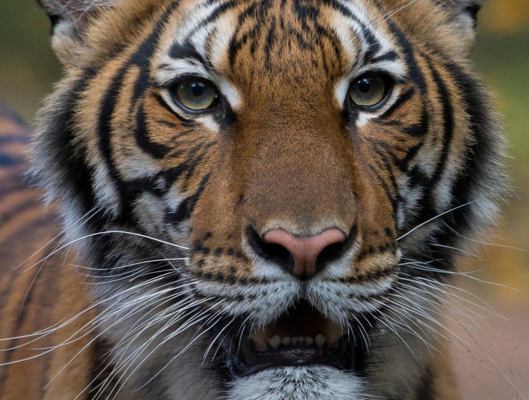 紐約布朗克斯動物園一隻老虎感染新冠病毒。路透