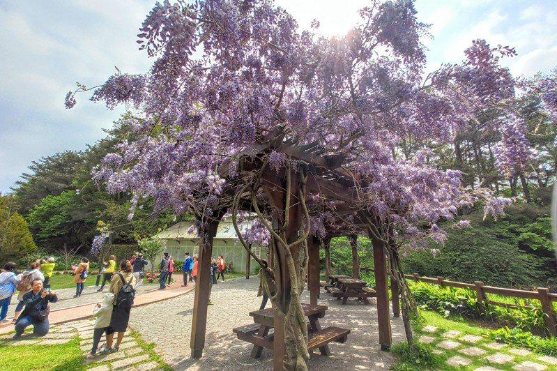 福壽山農場紫藤花,現正開滿花。圖/福壽山農場提供