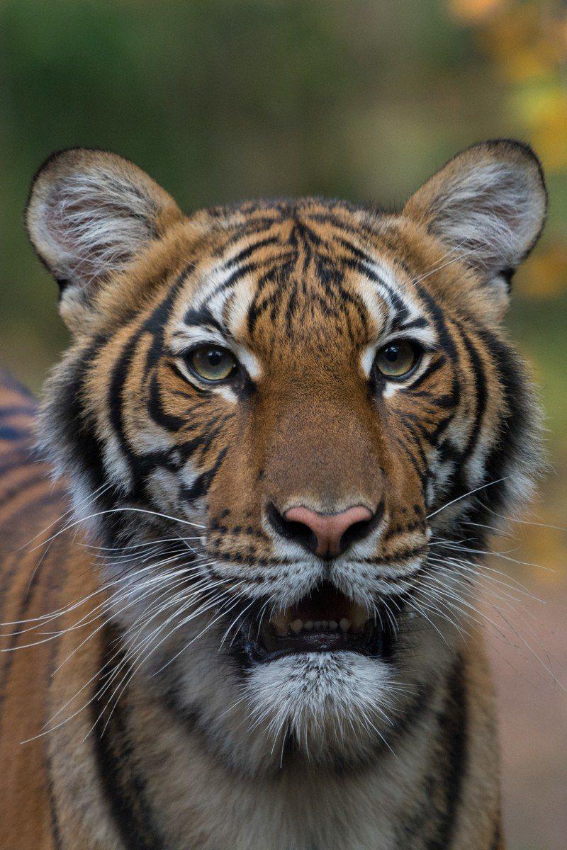 紐約布朗士動物園一隻四歲老虎確診染新冠肺炎。圖/取自WCS.org