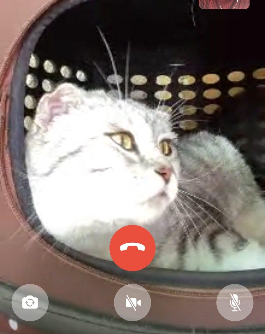 作家龍應台首次視訊訪談,愛貓也在身邊。記者何定照/攝影