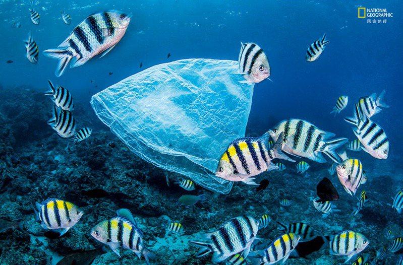 塑膠威脅/ 條紋豆娘魚在臺灣附近繞著 一個塑膠袋游泳。據估計每 年約有800萬公噸的塑膠廢 棄物進入海洋,造成數以百 萬計的海洋生物死亡。 MAGNUS LUNDGREN, NATURE PICTURE LIBRARY