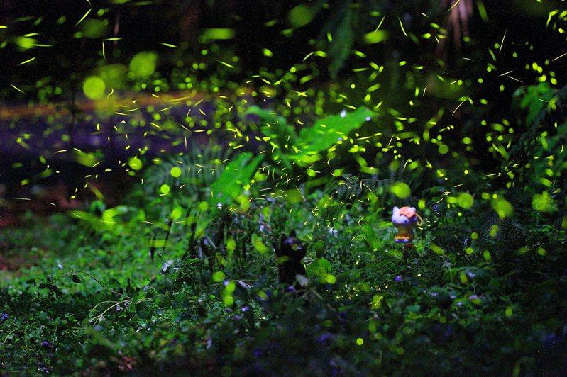 日月潭低光害、低汙染生態環境,六大賞螢景點成就3至4種常見螢火蟲紛飛的入夜美景。圖/日管處提供