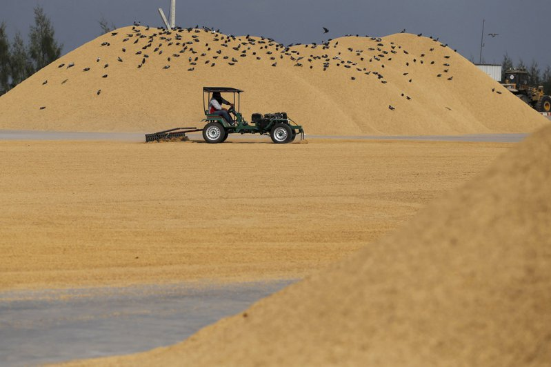 新冠肺炎疫情擴散,引發稻米進口國爭相囤積以及出口國限制出貨,推升國際米價漲至七年高點。(路透)