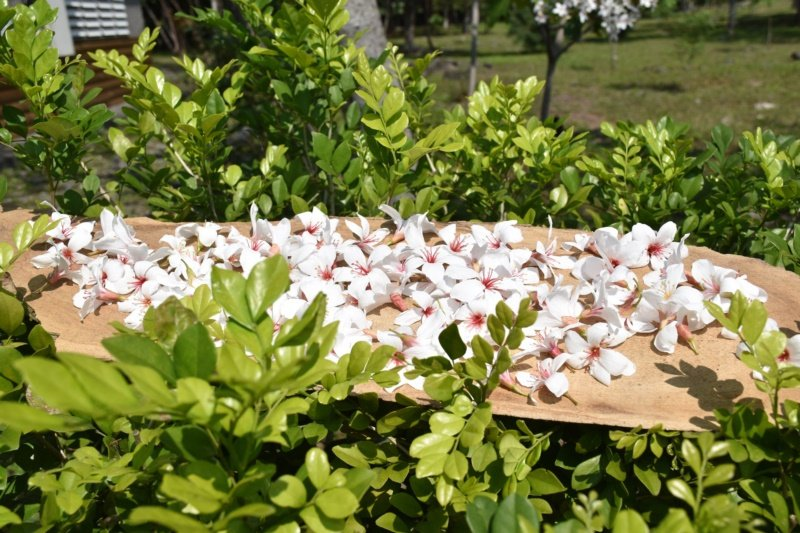 花蓮南華林業文化園區是花蓮重要的賞桐花好去處。 圖/王思慧 攝影