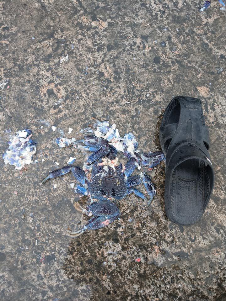 台東綠島椰子蟹在本月8日發生今年第1隻「路殺」,呼籲遊客騎車環島一定要注意小心。記者尤聰光/翻攝