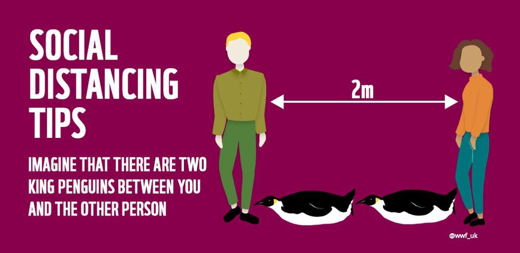 世界自然基金會(WWF )日本分會告訴大家至少要維持兩隻國王企鵝的社交距離。圖/...