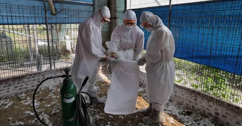 台南學甲同一飼主的2場火雞場染禽流感,今再撲殺1375隻火雞。圖/動保處提供