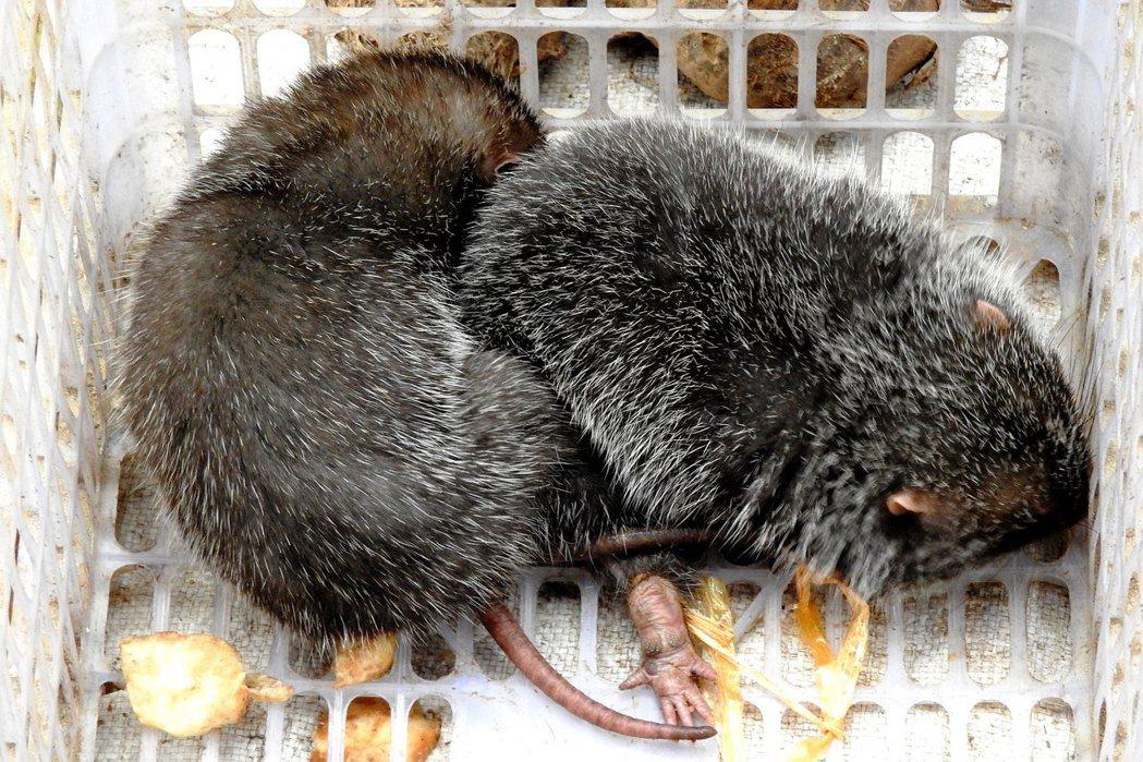 「人工飼養」的竹鼠,究竟算不算「野味」?圖為竹鼠示意圖。 圖/flickr@<a...