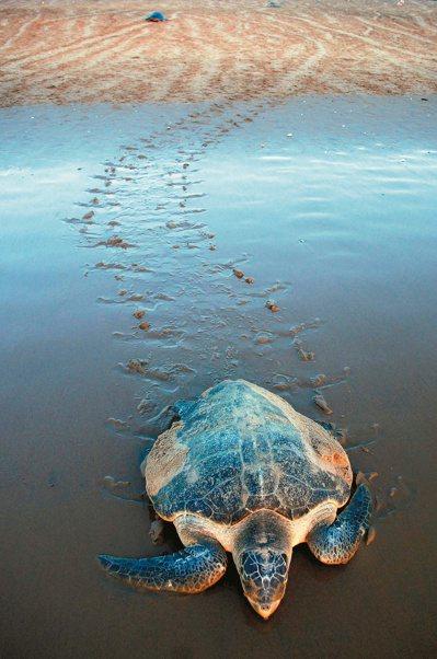 每年十一月到次年三月間,包括欖蠵龜在內的多種海龜,在大海巡遊數千哩後,回到沙地上...