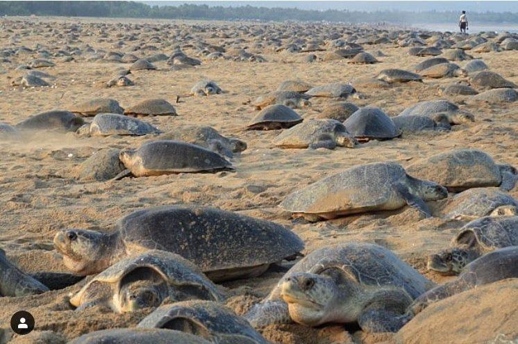 印度魯西庫利亞海灘出現海龜大規模群聚景象。  圖/擷自IGbipro_seas