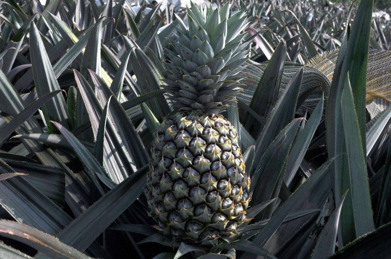 農委會農試所嘉義分所研究推出鳳梨新品種「台農23號」,農友暱稱為芒果鳳梨,糖酸比高,黃色的果肉帶有芒果香氣、風味富浪漫熱帶風情般酸甜好滋味。圖/農試所提供