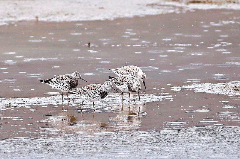 林務局羅東林區管理處推動「友善水鳥計畫」,延長曬魚塭30天,啟動翌日就迎來4隻與黑面琵鷺相同頻危等級的大濱鷸現身。 圖/林務局羅東林區管理處提供
