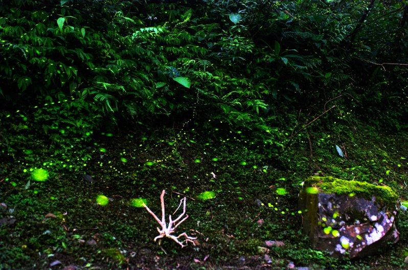 宜蘭縣政府致力保育多年,輔導縣內休閒農場在農場內不設路燈隔絕光害、禁用農藥及殺蟲劑,並於山溝中提供大量腐木植物,復育螢火蟲喜愛環境並提供無缺食物,讓宜蘭成為螢火蟲的家。圖/宜蘭縣政府提供
