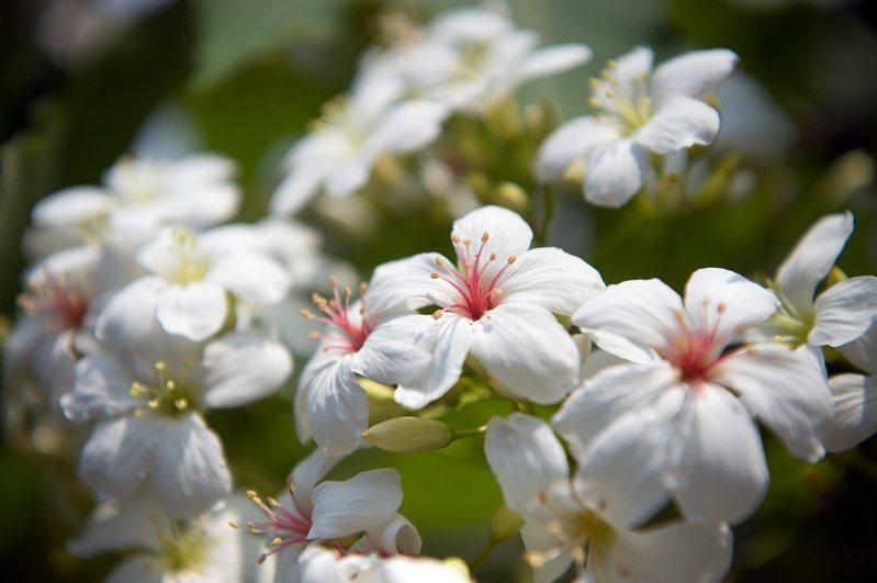 桐花盛開!嘉義市客家桐花祭受疫情影響停辦。圖/嘉義市府提供