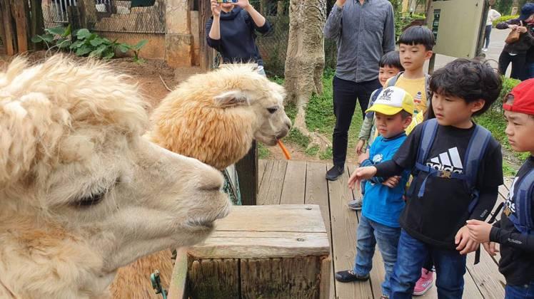 六福村園區裡模樣可愛的草泥馬,深受小朋友喜愛,不但外型萌翻名字也俏皮,一隻叫「草...