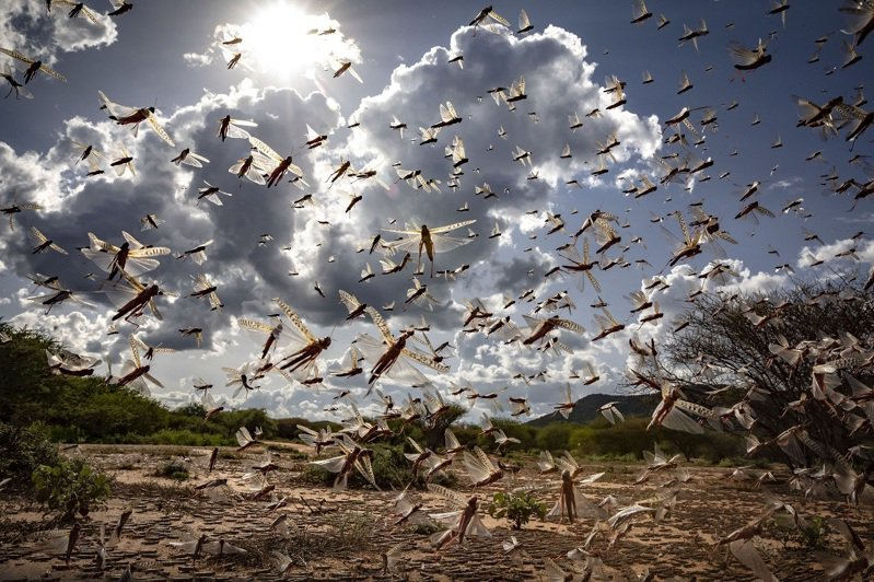 肯亞伊西奧洛縣(Isiolo county, Kenya)境內3月31日可見到大群沙漠蝗蟲正在飛行。美聯社