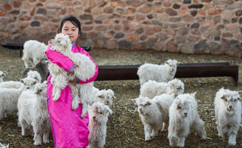 蒙古捐贈3萬隻羊給大陸,「最萌援助」協助抗疫。圖為內蒙古草原上的羊群。 新華社