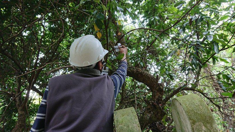 生態防治成效佳,台中市觀旅局在大坑步道施放8萬隻平腹小蜂對抗荔枝椿象。圖/台中市觀旅局提供
