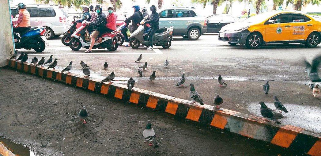 醫師指出,鴿子身上常有禽蟎,可能伺機叮咬人類。 記者邱瑞杰/攝影