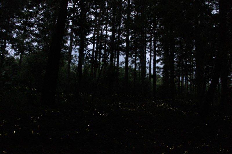 現在是奧萬大螢火蟲季,入夜後森林中螢光點點,相當浪漫。 圖/南投林管處提供