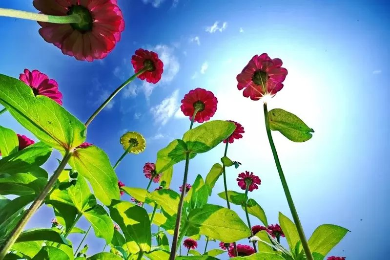 豔紅百日草在春日溫暖陽光及徐徐微風的撥弄下,吸睛效果十足。 圖/新北市高管處提供