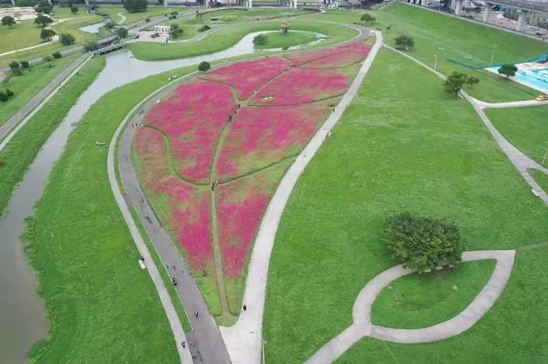 新北大都會公園「一葉致富」的百日草花海進入花期。  圖/新北市高管處提供