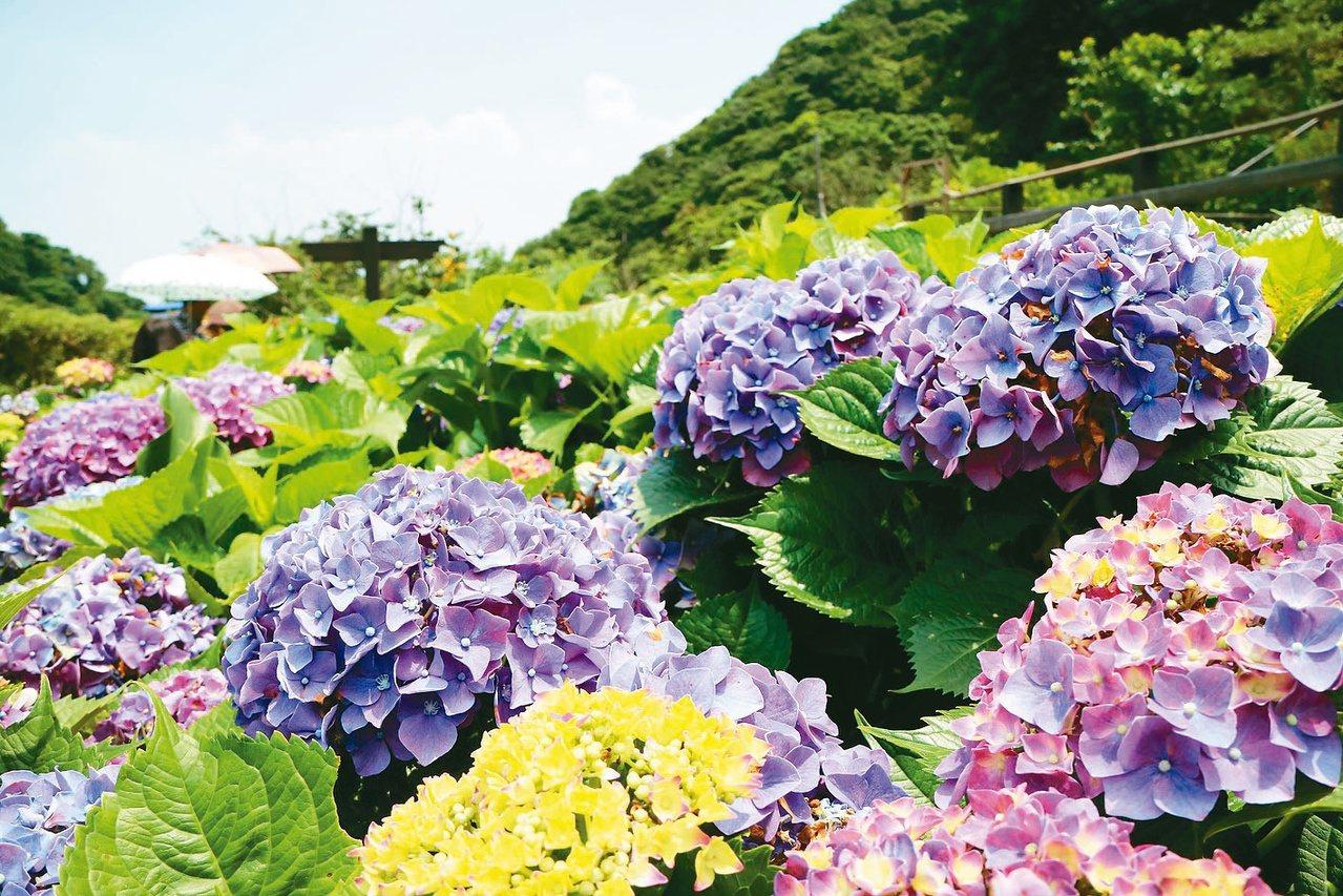 2020竹子湖海芋季及繡球花季已開跑,預計花期將持續到5月,緊接著是繡球花季,預...