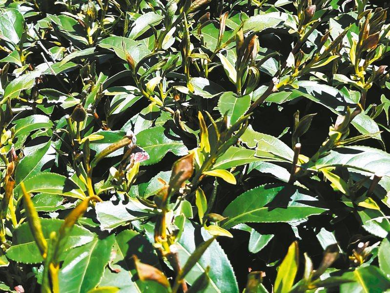 春茶因霜害又遭日照,葉片熟化而乾黃枯萎,災情嚴重。 圖/茶農提供