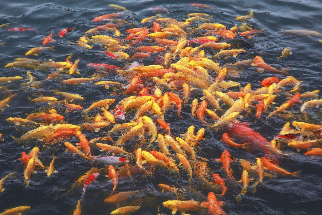 黃金錦鯉蜂湧爭食畫面相當療癒。 棗稻田/提供