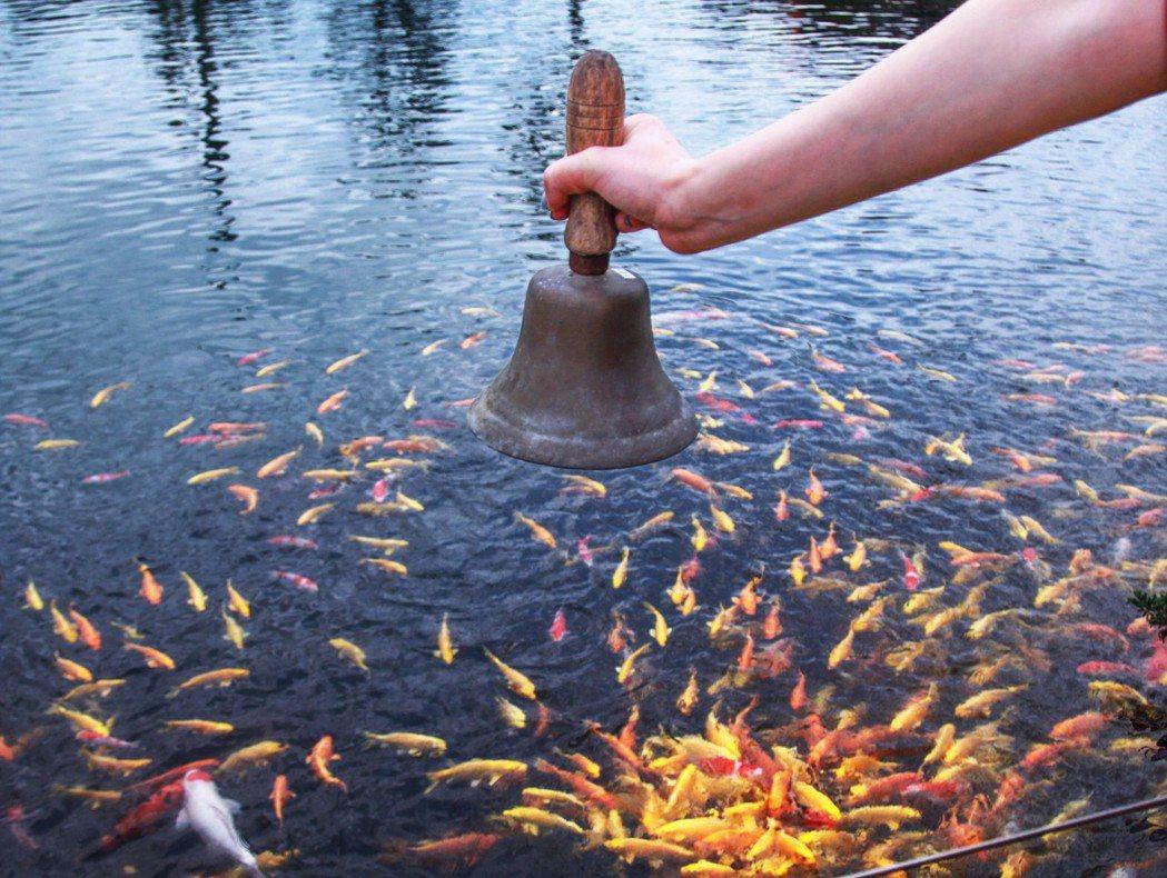 棗稻田園區內「虹池」裡的黃金錦鯉,聞聲而來知道可以吃飯的聰明魚兒。 棗稻田/提供