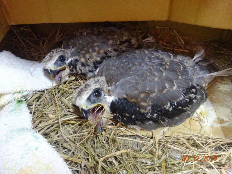去年底有民眾在花蓮壽豐鄉縣道193路邊,發現2隻落巢的2級保育類黑翅鳶幼鳥,送至花蓮縣野鳥學會鳥類收容中心安置。圖/花蓮縣野鳥學會提供