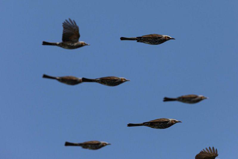 日本網友拍下了鵯鳥進行彈道飛行的畫面,引起網路上一片驚嘆。圖/Twitter