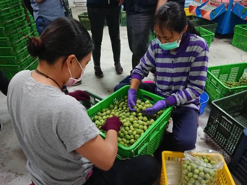 甲仙有機手採青梅,17日起將在家樂福量販店青翠上市。圖/高雄市農業局提供