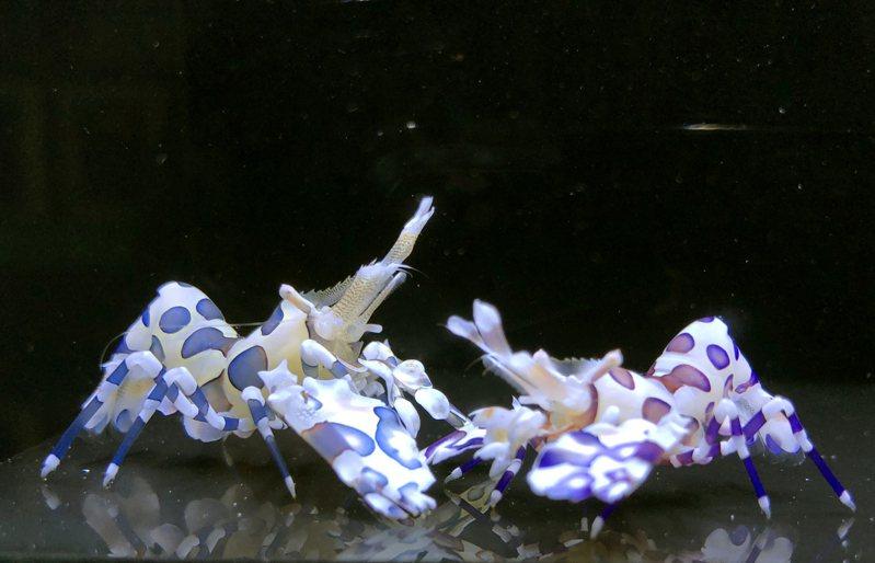 換上鈷藍色(左)與靛藍色(右)新裝的「蝴蝶藍」系列油彩蠟膜蝦。圖/水試所提供