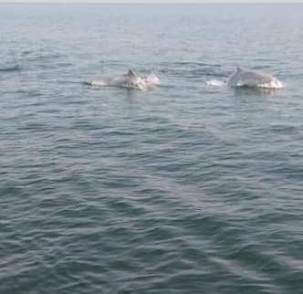 嘉義縣東石鄉蚵民成峻上午駕膠筏出海,在外傘頂洲附近海域,幸運發現2隻白海豚,在漁筏四周跳躍,不怕人,讓蚵民驚呼連連。圖/成峻提供
