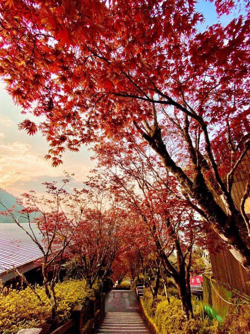 海拔2千公尺的太平山國家森林遊樂區,紫葉槭綻放,紫紅色新葉火紅,正是賞景時,而 景色有如秋天楓紅,十分迷人。圖/林務局羅東林區管理處提供