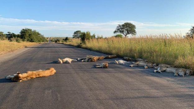 南非克魯格國家公園巡守員,捕捉到獅群躺在馬路中間睡覺的畫面。(取自BBC)