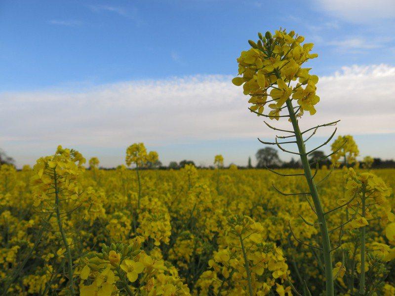 近來英國許多農場進入採收旺季,但因為疫情聘不到工人。圖為農民經常種植來提供土地養分的油菜花。特約記者游婉琪/攝影