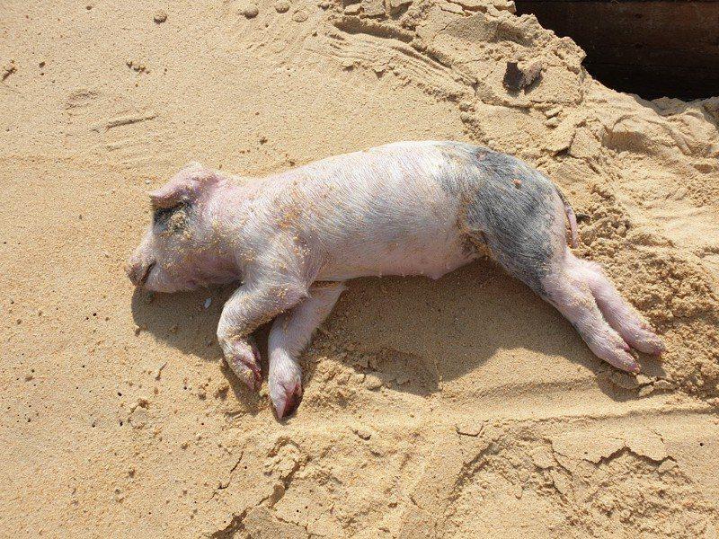 金門縣防疫所表示,16日接獲海洋委員會海巡署金馬澎分署第九岸巡隊通報,在烈嶼鄉青岐港海灘發現一隻約2公斤境外漂流豬屍。圖/金門縣防疫所提供
