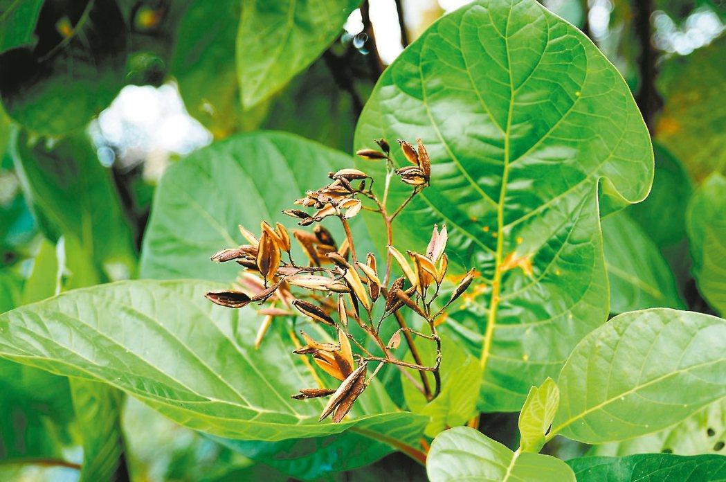 金雞納樹引入台灣逾百年,提煉出的金雞納霜又名奎寧,近來成為抗疫熱門植物。 圖/台...