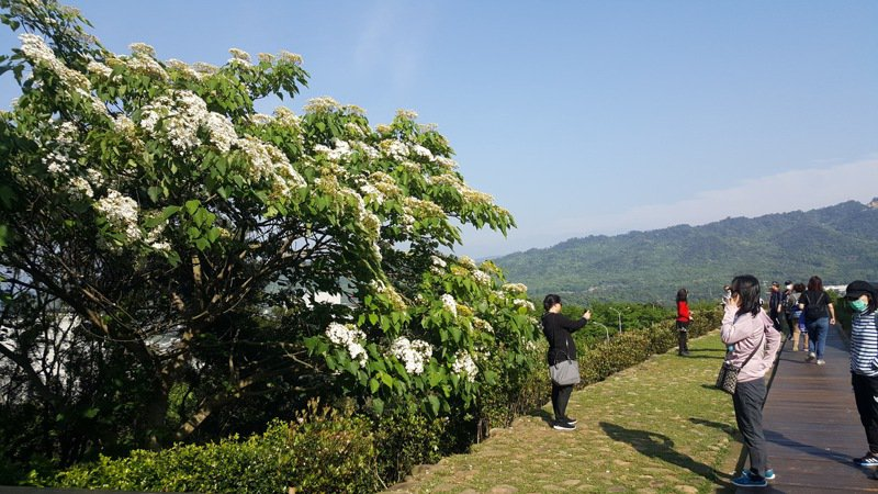 銅鑼科學園區的好客公園桐花正盛開,落英繽紛的美景讓園區科技人、遊客身心紓壓。記者胡蓬生/攝影