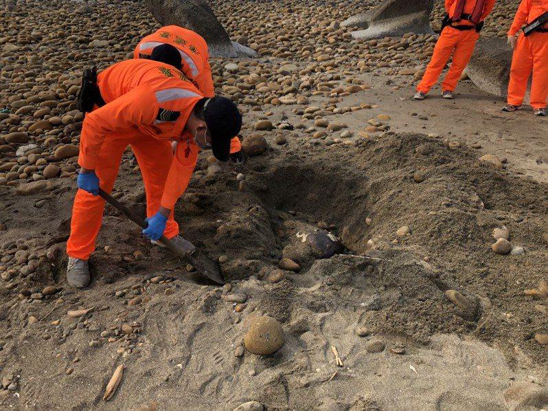 一級保育類瀕臨絕種的欖蠵龜,昨天首次發現在苗栗海岸死亡,海巡署中部分署第三岸巡隊就地掩埋。圖/海巡署中部分署第三岸巡隊提供